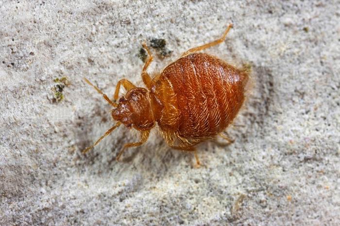 Types Of Bedbugs Bed Bug Types List Of Bedbug Species