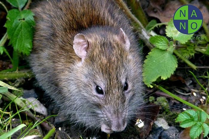 Chuột nâu 1