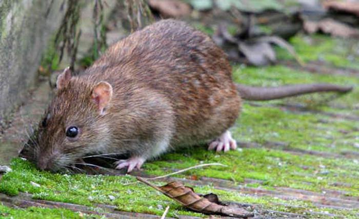Chuột nâu 3