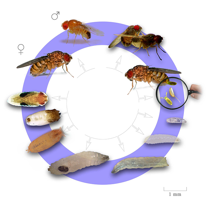 Life Span & Life Cycle of Fruit Fly | Nanovina.com.vn