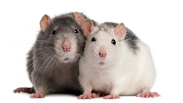 Bình xịt chuột 1