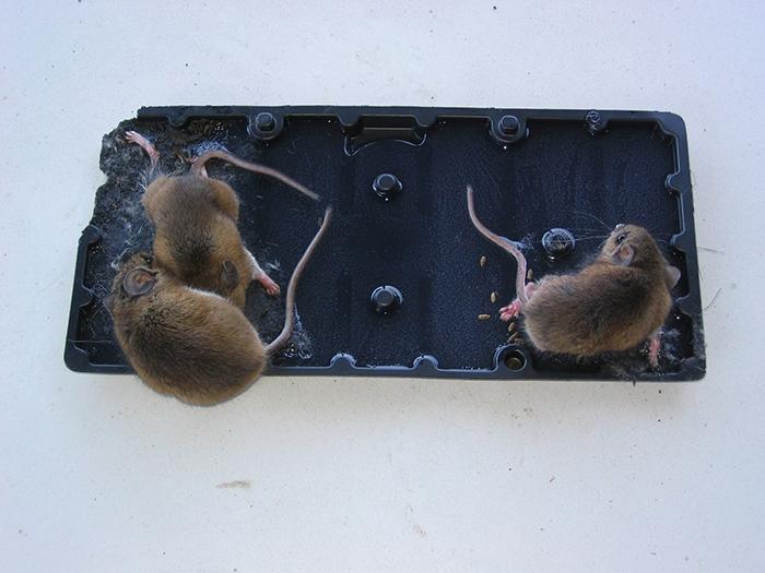 Bẫy chuột 1