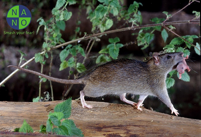 Chuột đen 2