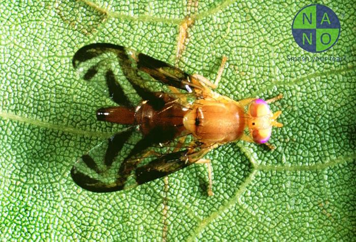 Một số loài ruồi phổ biến 2