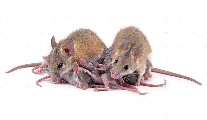 Sinh sản của loài chuột 1