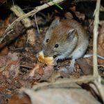 Tại sao chuột lại thích gặm nhấm vật cứng 1