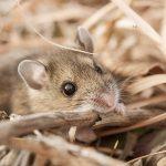 Mouse in prairie - Helzer prairie, near Stockham, Nebraska.