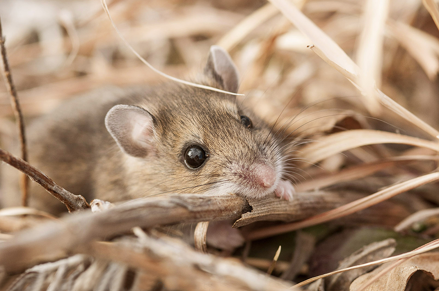 Mouse in prairie - Helzer prairie, near Stockham, Nebraska.