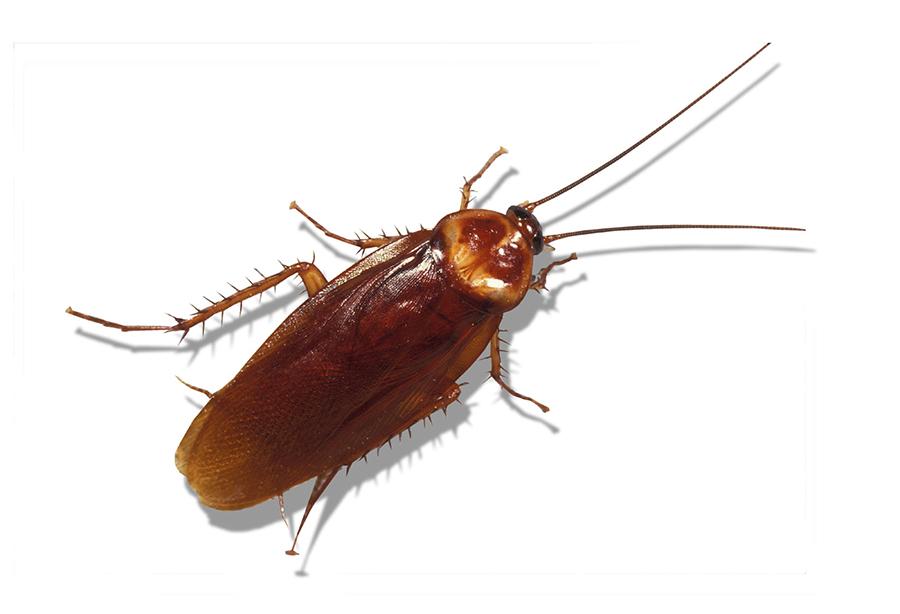 pests: American cockroach, at left, is ubiquitous; Florida harvester ants (Pogonomyrmex badius), above, have a sting you won't forget. University of Florida photos/James Castner, Department of Entomology and Nematology Story Slug: LIbugprof.ART|LIbugprof.ART|LIbugprof.ART