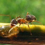 Lasius Niger (Black garden ant). Worker