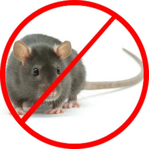 cách diệt chuột