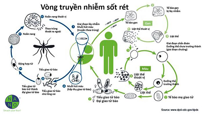 Vòng truyền nhiễm sốt rét