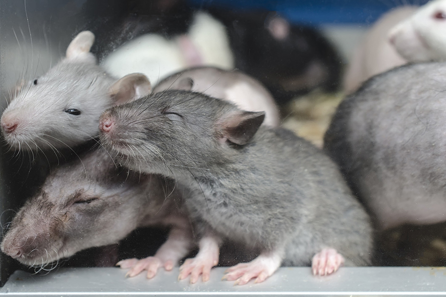 Group-of-rats-min