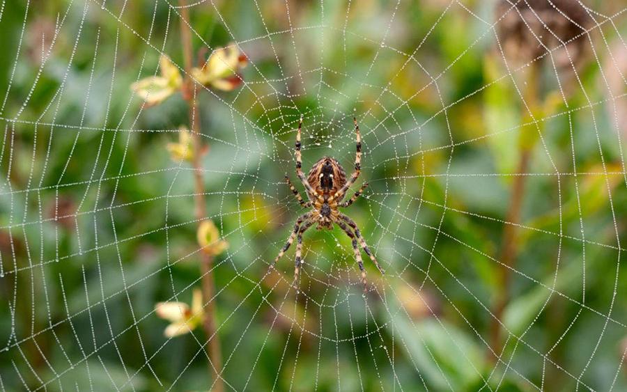house-spider