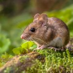 Wild Wood mouse resting on a stick on the forest floor with lush green vegetation
