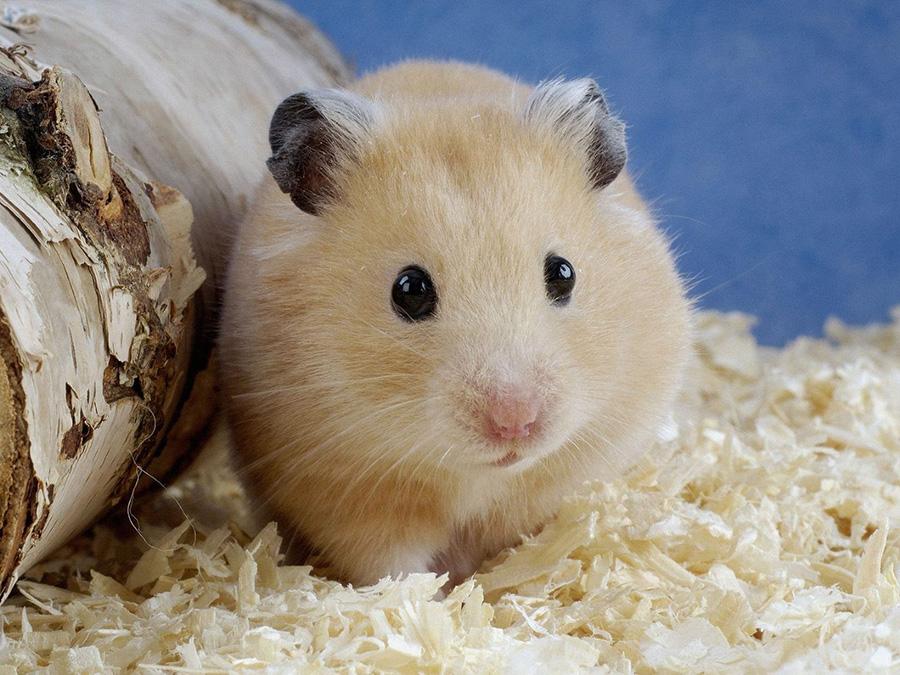 rats khac mice Hamster