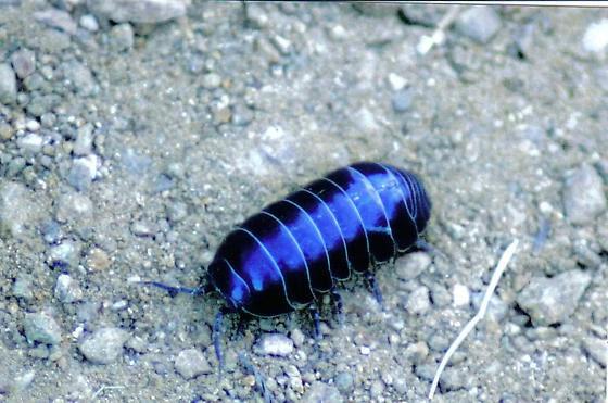 Blue Pill Bug