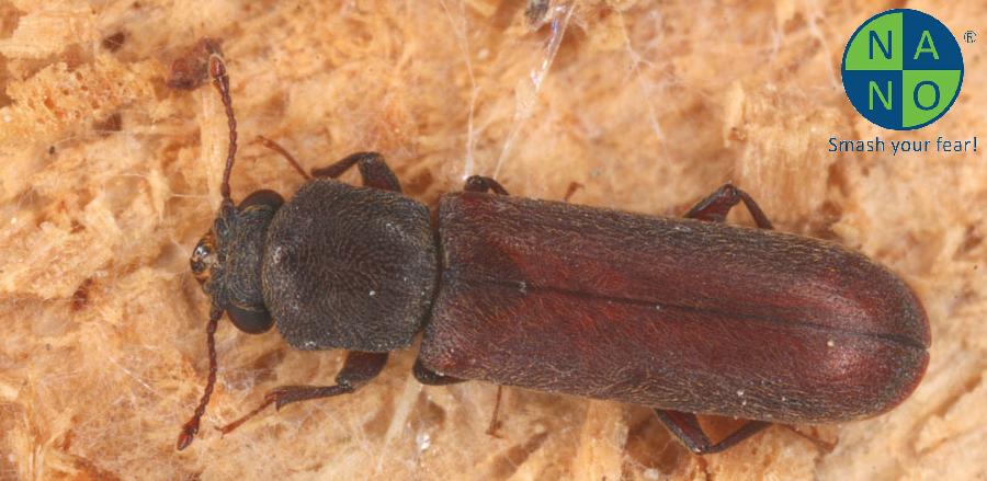 Lyctus brumneus
