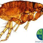 istock_000002937031small_microscopic-flea