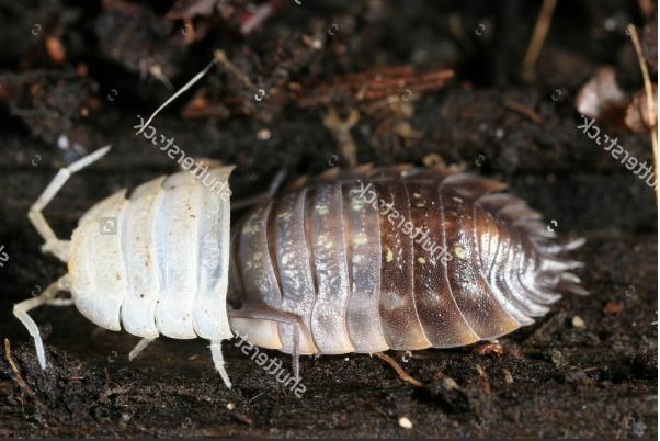 medium-stock-photo-pill-bug-molting