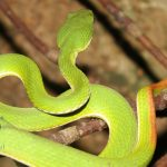 Bamboo_Pit_Viper_(Trimeresurus_albolabris)_青竹蛇14
