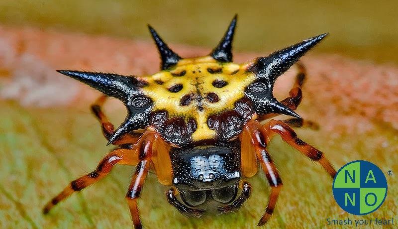 Gasteracantha cancriformis