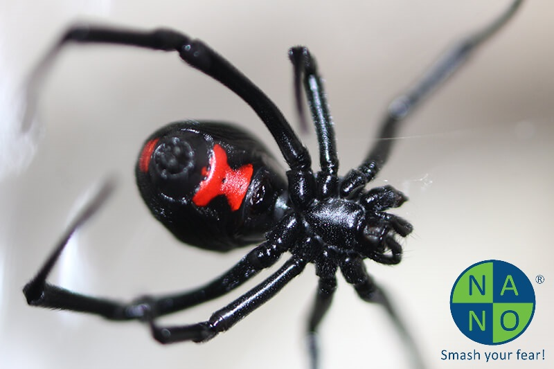 female-black-widow-spider