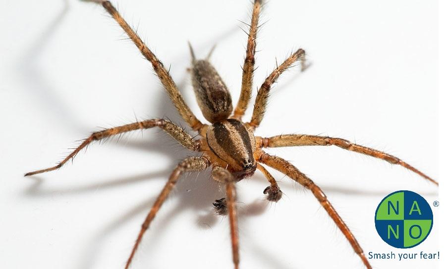 hobo-spider-1