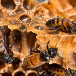 honeybees-bug_0848