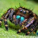 jumping-spiders-macro-photography-thomas-shahan-4