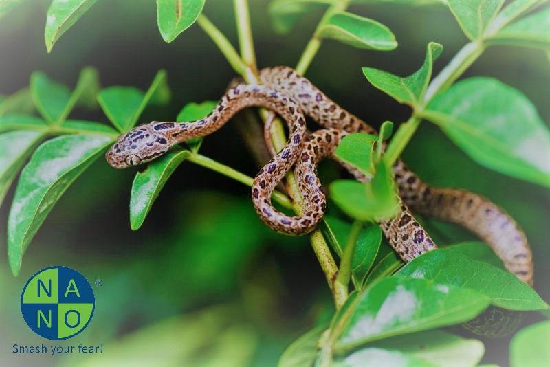 juvenile-boiga-multomaculata-800x600