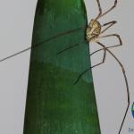 nhện chân dài