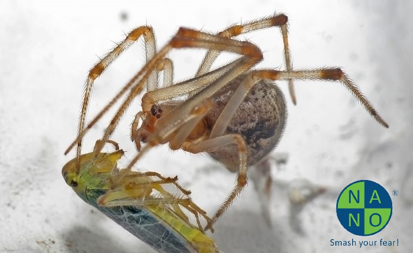 parasteatoda-tepidariorum-with-prey.jpg.838x0_q80