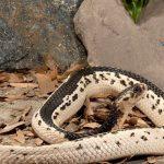 rắn hổ mèo