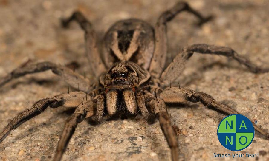 nhện sois1