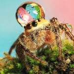 Water good idea!  These spiders look to have found a new style of headwear as a rain droplet rests on their heads.  The jumping spiders look completely at ease as they get accustomed to their new looks...The amazing images were snapped by photographer Uda Dennie in his garden, in Batam Island, Indonesia.  SEE OUR COPY FOR DETAILS...Pictured: A spider with a water droplet on its head...Please byline: Uda Dennie/Solent News.. Uda Dennie/Solent News & Photo Agency.UK +44 (0) 2380 458800.