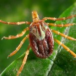 16965-a-female-amblyomma-tick-on-a-blade-of-grass-pv