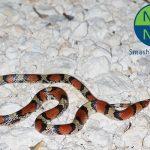 13031211PD_scarlet_snake