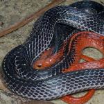 rắn cạp nong đầu đỏ